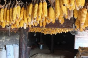 Corn hangs from a ceiling