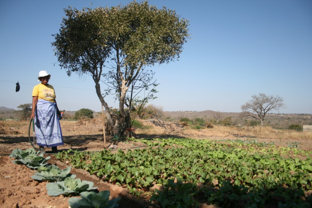 A prowd gardener at Hokwe Primary School waters her cabbages - by Mike Creevy